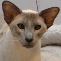 Сиамская голубая кошка