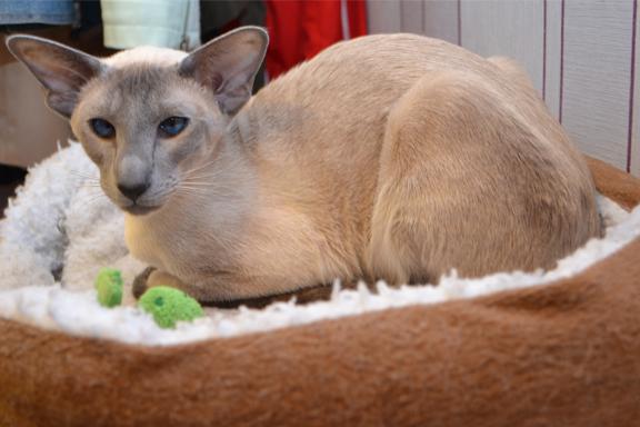 Сиамская кошка окраса голубой
