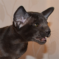 Котенок Atlant