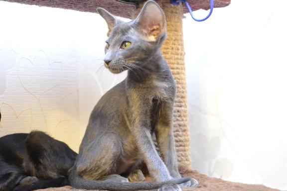 Восточный ориентальный котенок. Фото.