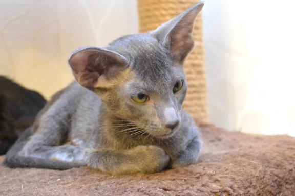 Маленький ориентальный котенок из питомника Adamas