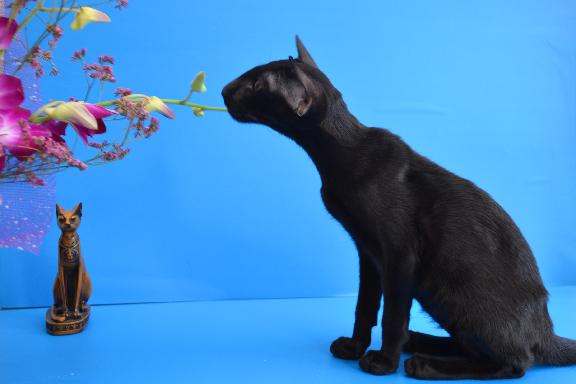 Ориентальный котенок Adamas Brooklin