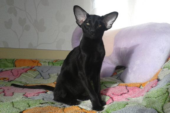 Ориентальный котенок. ORI n.