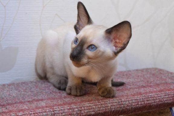 Сиамский котенок Adamas Bounty