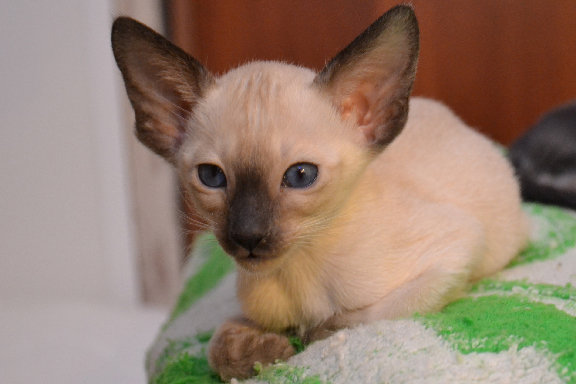Настоящий сиамский котенок. Фото.