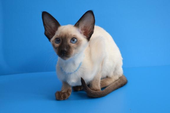 Сиамский котенок Adamas Bali