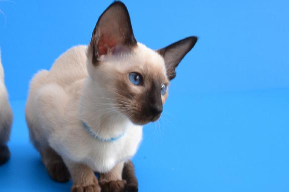 Сиамская кошка Адамас Бали.