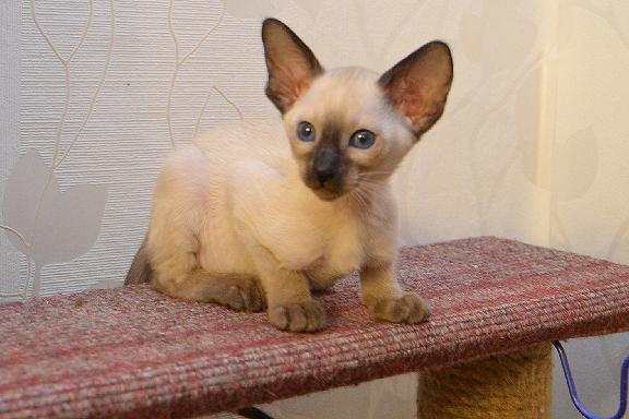 Адамас Бали - маленькая сиамская кошка