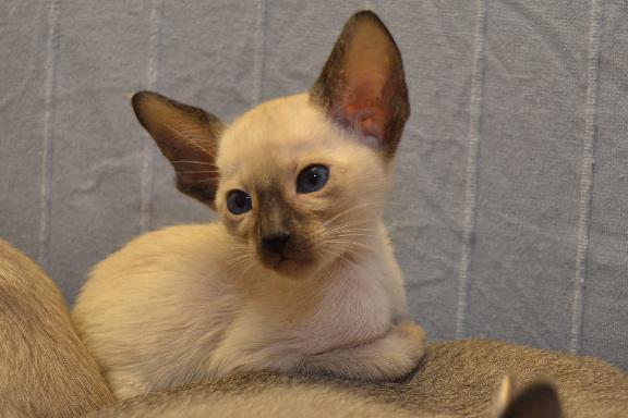 Adamas Bounty - настоящий сиамский котенок
