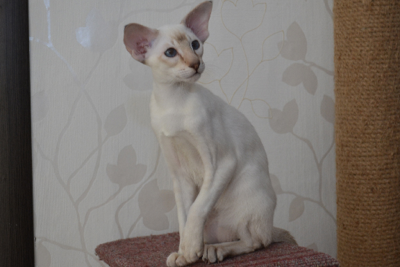 Аdamas Broadway - сиамский кот