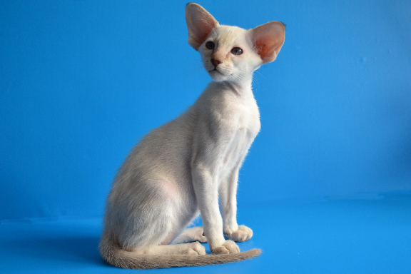 Котенок сиамской породы (мальчик). Фото.