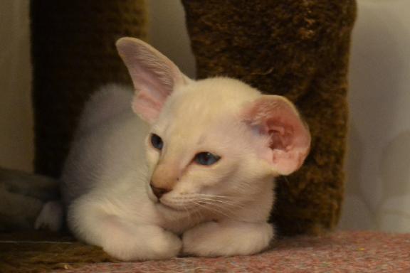 Сиамский котенок отличного типа