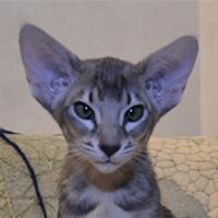 Котенок Cheshir Cat