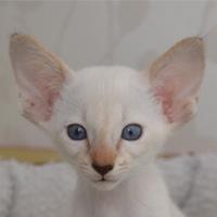 Котенок Dominica