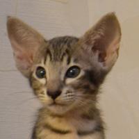Котенок Exuma