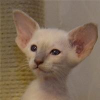 Котенок Gladis