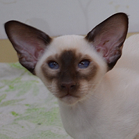 Котенок Goodwin