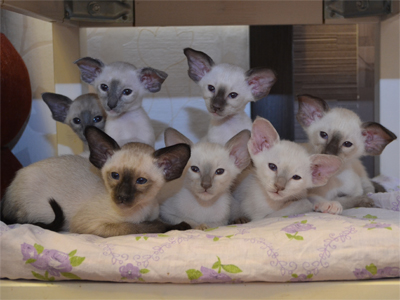 Available kittens. Siamese.