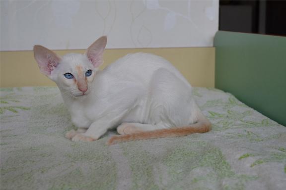 Сиамский котенок Adamas Hanna