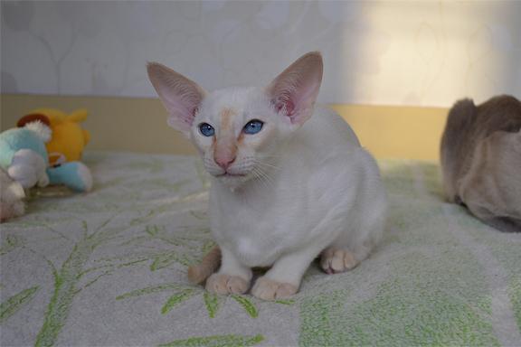 Современный сиамский котенок. Фото.