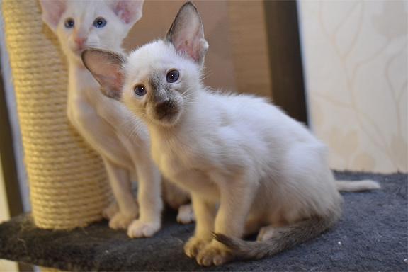 Сиамский котенок Adamas Houma