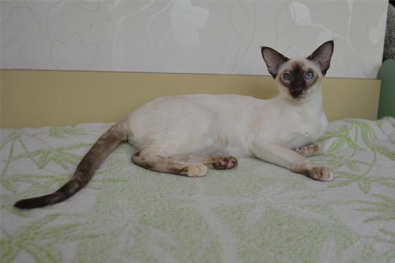 Сиамский котенок Adamas Harmony