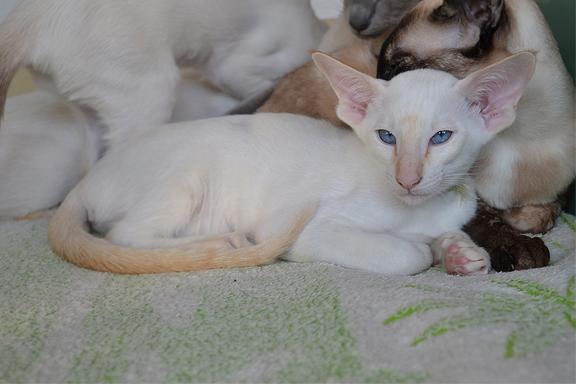 Котенок сиамской породы.  Фото.