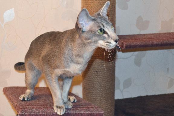 The Cat Collection №52 Ориентальная длинношерстная Фото