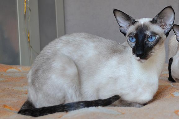 Private Collection Radmila  - сиамская кошка