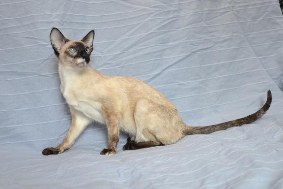 Кошка сиамской породы. Фото.