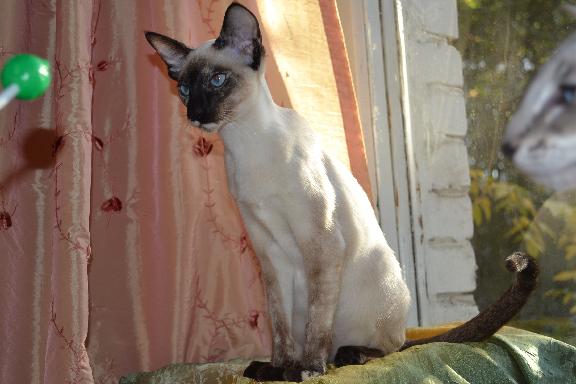 Настоящая сиамская кошка из питомника